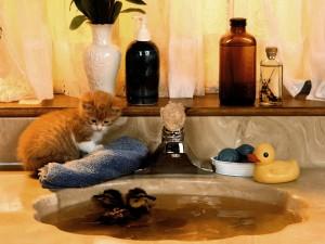 Gato observando a dos patitos nadando