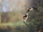 Águila en pleno vuelo