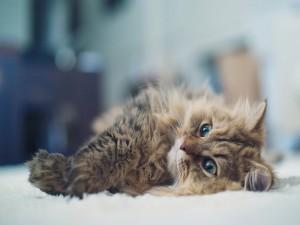 Un lindo gato tumbado en la alfombra