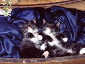 Dos gatitos durmiendo sobre una tela azul