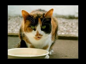 Gato tricolor bebiendo leche