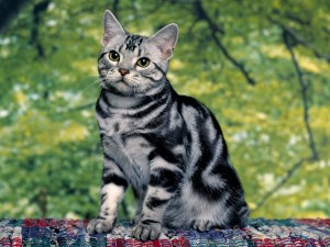 Hermoso gato gris