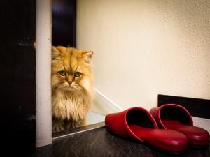 Gato junto a unas zapatillas rojas