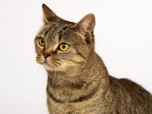 Gato con ojos color ambar