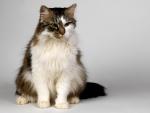 Un lindo gato con la cara de dos colores