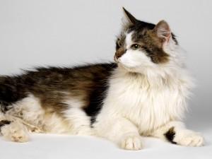 Bonito gato bicolor