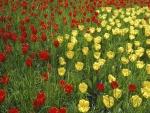 Campo de tulipanes de color rojo y amarillo