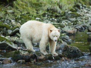 Oso albino caminando entre las piedras del río