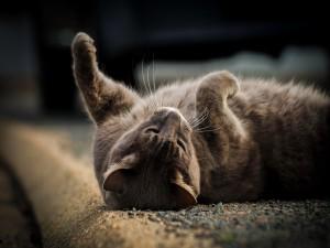 Un gato gris descansando