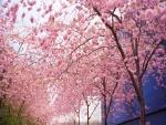 Cerezos en flor