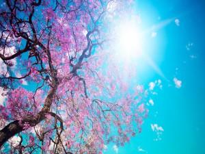 Sol iluminando las ramas del cerezo en flor