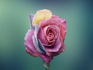 Interesante rosa con pétalos de varios colores