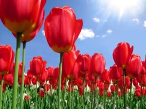 Sol brillando sobre un campo de tulipanes