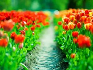 Un campo de tulipanes