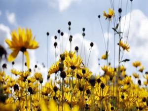 Margaritas amarillas en primavera