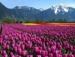 Hermosos campos de tulipanes bajo las montañas