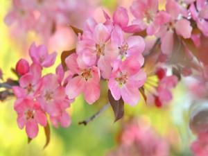 Rama de cereza en floración