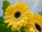 Esbelto dúo de gerberas amarillas