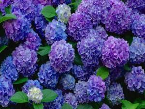 Bellas hortensias en la planta