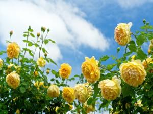 Bello rosal en un jardín