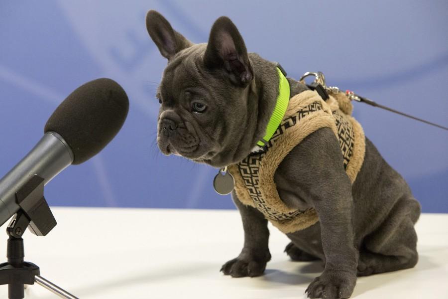 Bulldog francés frente a un micrófono