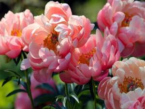 Deslumbrantes peonías de color rosa