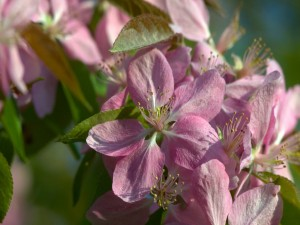 Manzano en floración