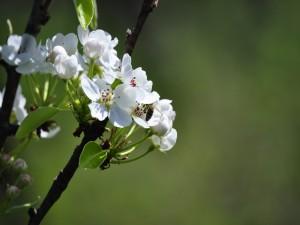 Flores blancas brotando en las ramas