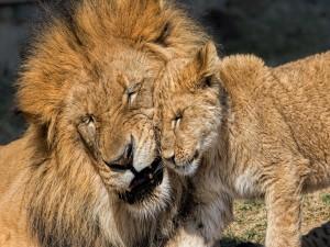 Cachorro de león junto a su padre