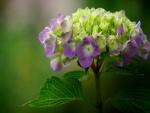 Maravillosa hortensia con sus hojas verdes