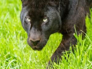 Pantera negra en la hierba