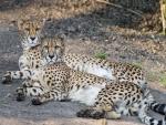 Pareja de guepardos descansando