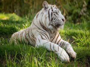Tigre sobre la hierba