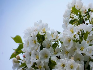 Manzano florecido en primavera