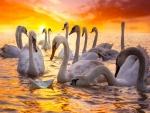 Cisnes blancos en el agua