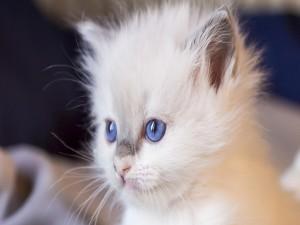 Hermoso gatito blanco