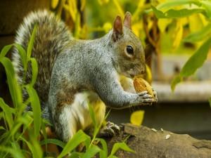Ardilla comiendo frutos secos