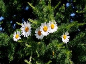 Margaritas entre las ramas del pino