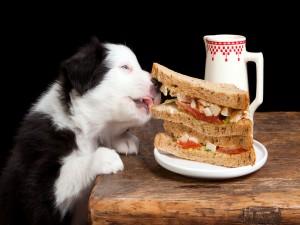 Perro comiéndose el sándwich