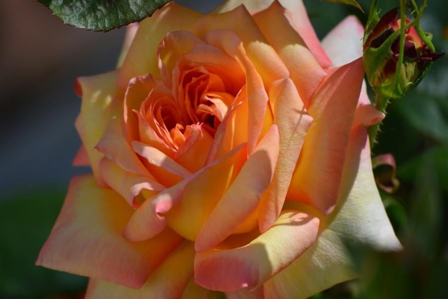 Bella rosa de color naranja y amarillo