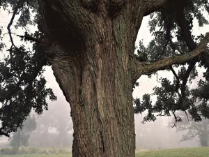 Corteza de un gran árbol