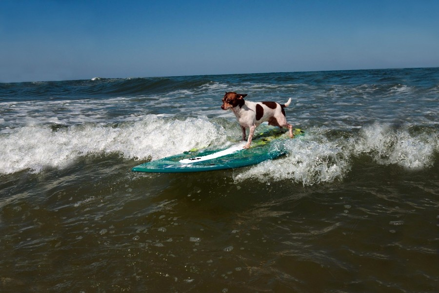 Perro sobre una tabla de surf en el mar