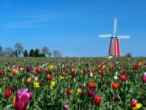 Molino de viento en un campo de tulipanes