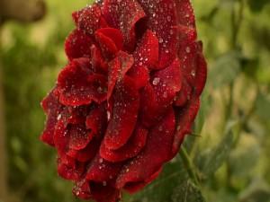 Exuberante rosa de color rojo con gotas de agua