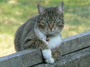 Gato gris con un cascabel en el cuello