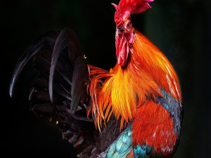 Un colorido gallo