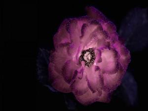 Flor morada con gotas de rocío