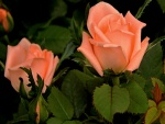 Delicadas rosas de color rosa con las hojas