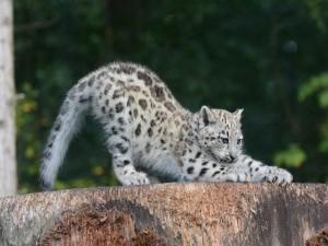 Cachorro de leopardo de las nieves afilando sus garras