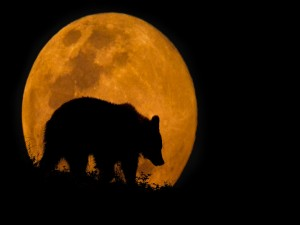 Silueta de oso caminando delante de la enorme luna